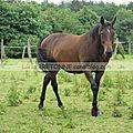 chevaux à Moréac 12