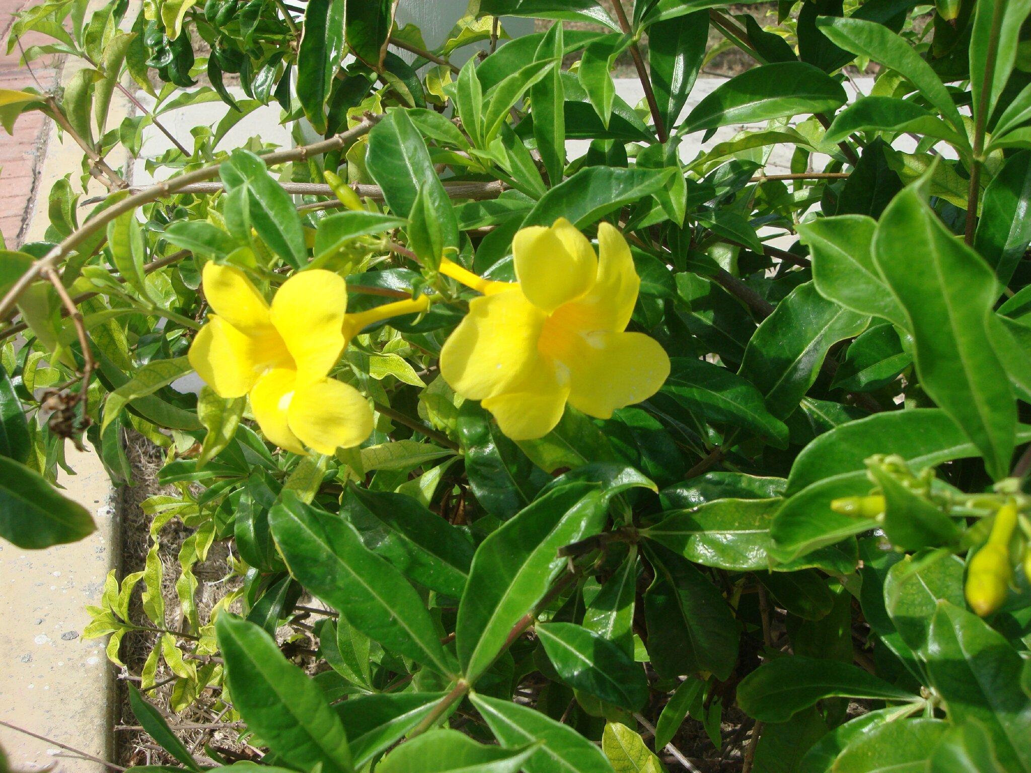 Fleur exotique  Allamanda jaune