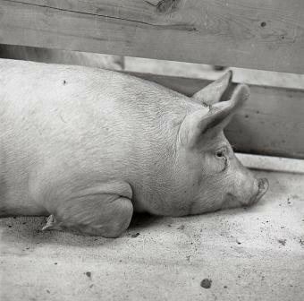 Pig © Ricardo BLOCH