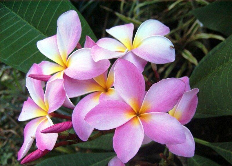 Plumeria, pink -c