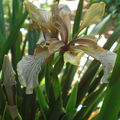 Un Iris foetidissima f. citrina issu de semis spontanés…!