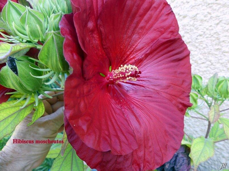 P1030891 Hibiscus moscheutos