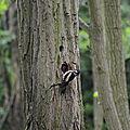 Pic-Epeiche femelle nourrissant son petit.