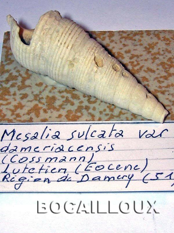 MESALIA SULCATA