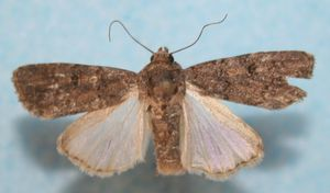 Spodoptera cilium cycloides 05 (3)