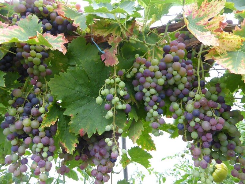 28-serre-tomates-raisins (11)
