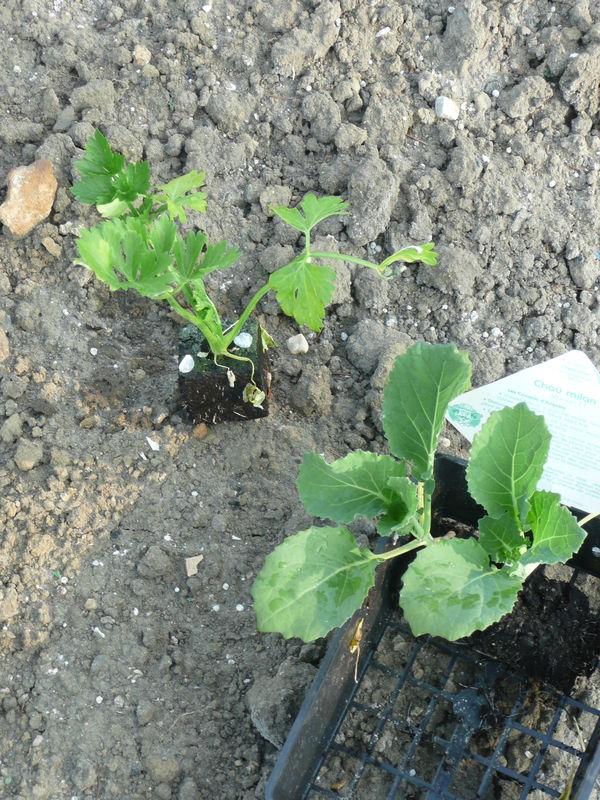 Plantation des choux choux fleurs et celeri le jardin de gisounette - Planter des choux fleurs ...