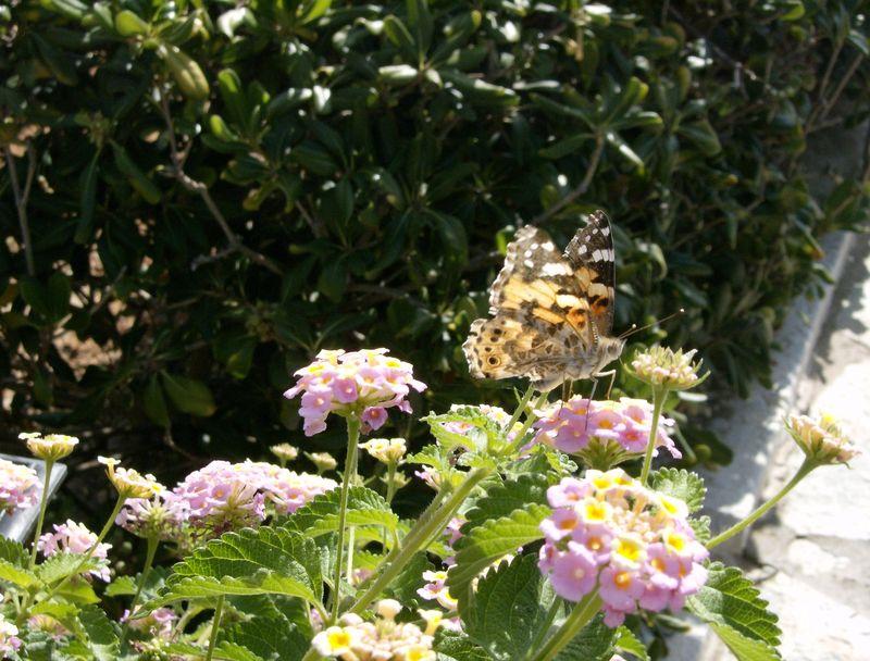 Papillons crétois