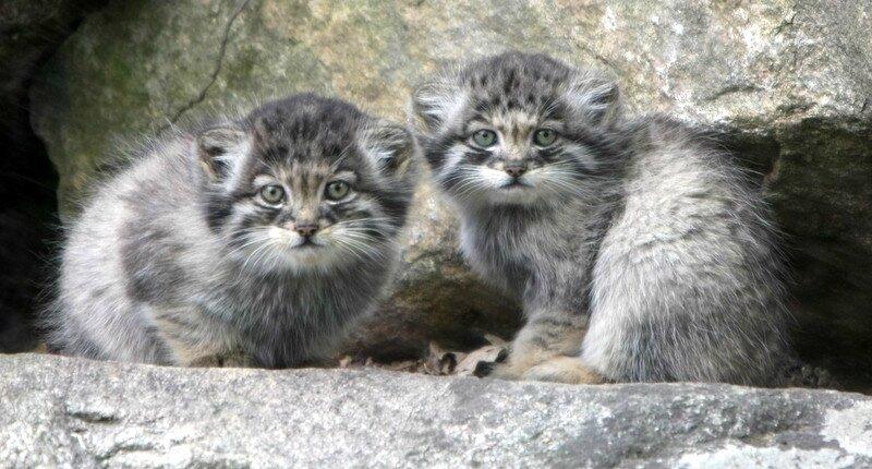 Manul_kittens