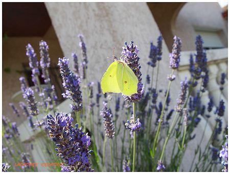 joli papillon by sylviam