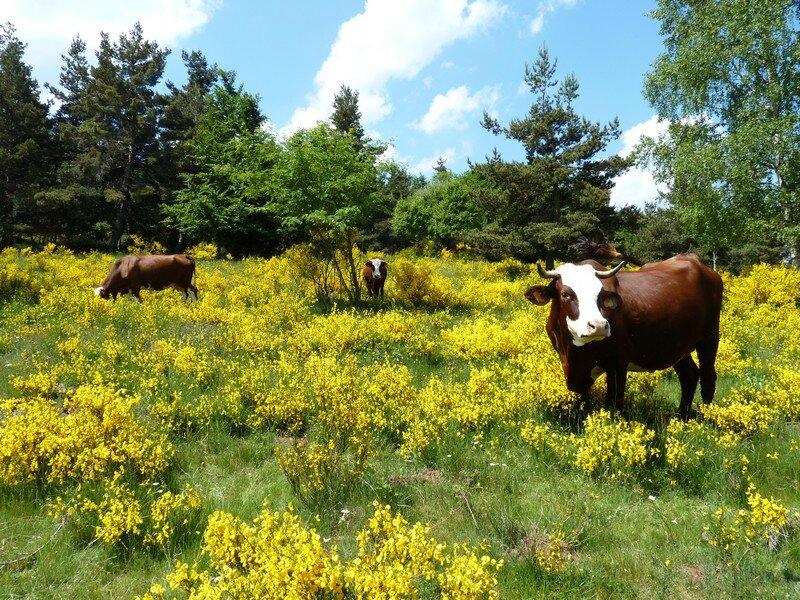 Vaches dans les genêts