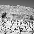 Vignes en neige