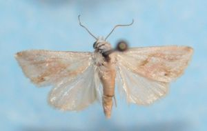Porphyrinia cochylioides 04