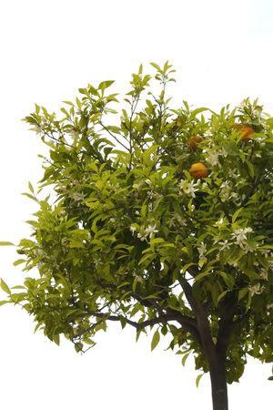 Oranger_en_fleurs