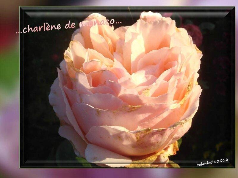 balanicole_2016_11_les nouveaux rosiers de balanicole_c comme charlène de monaco_04