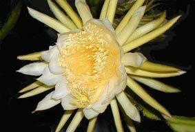 hylocereus_undatus_fleur