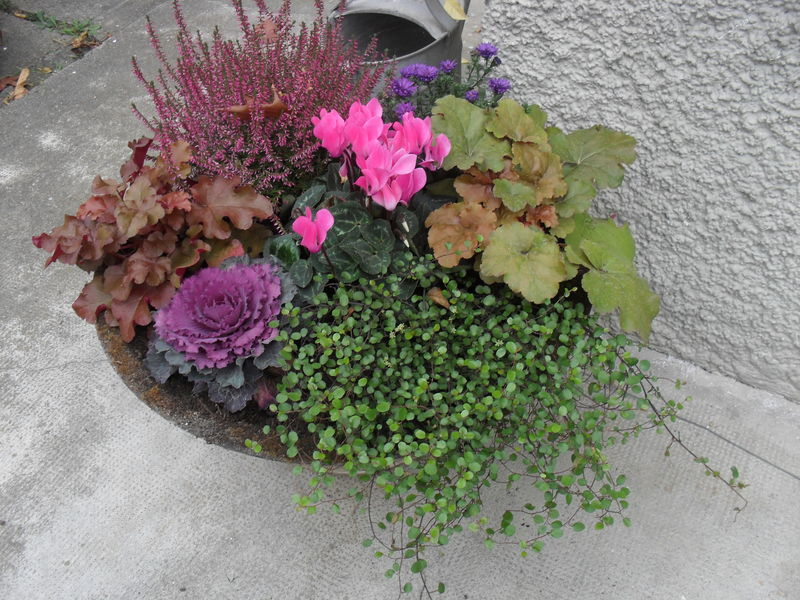 Quand le cyclamen laisse sa place l 39 h ll bore piments for Arrangement floral exterieur