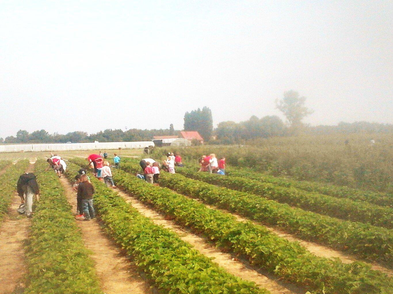 Cueillir des fraises avec les enfants c 39 est facile lacueillettegourmande avelin - Comment cueillir des fraises ...