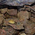 Lampyre ou ver luisant (Lampyris noctiluca)