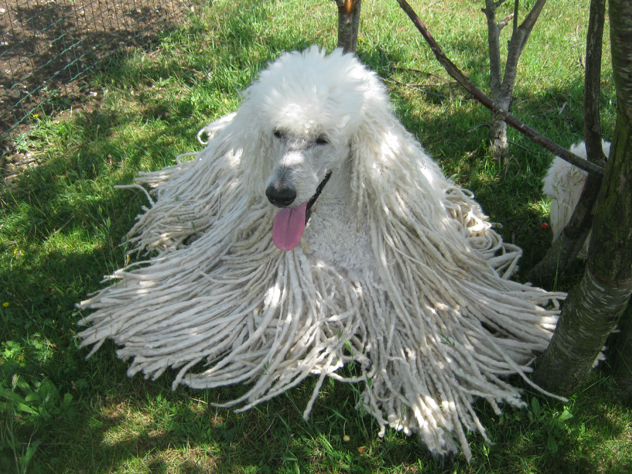 Caniche Dog Related Keywords & Suggestions - Caniche Dog