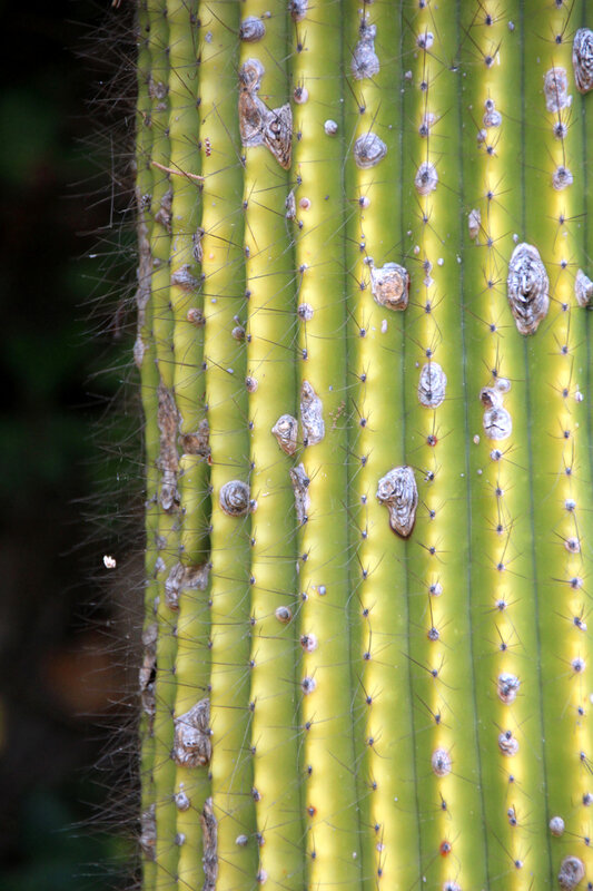 cactus_mugel