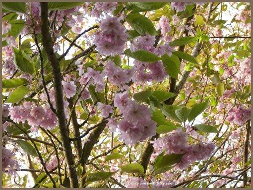 cerisier-fleur