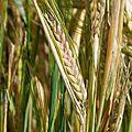 la vie ... du blé