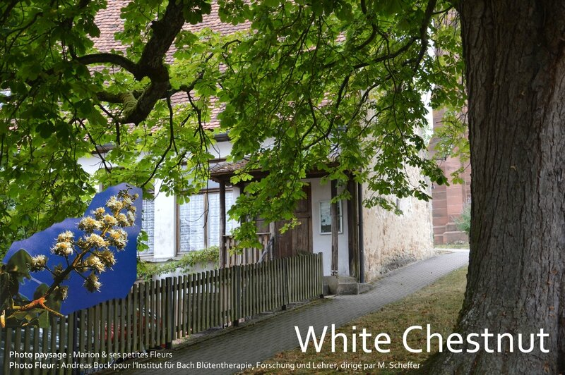 White Chestnut 1 copie