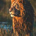 lion1_1280