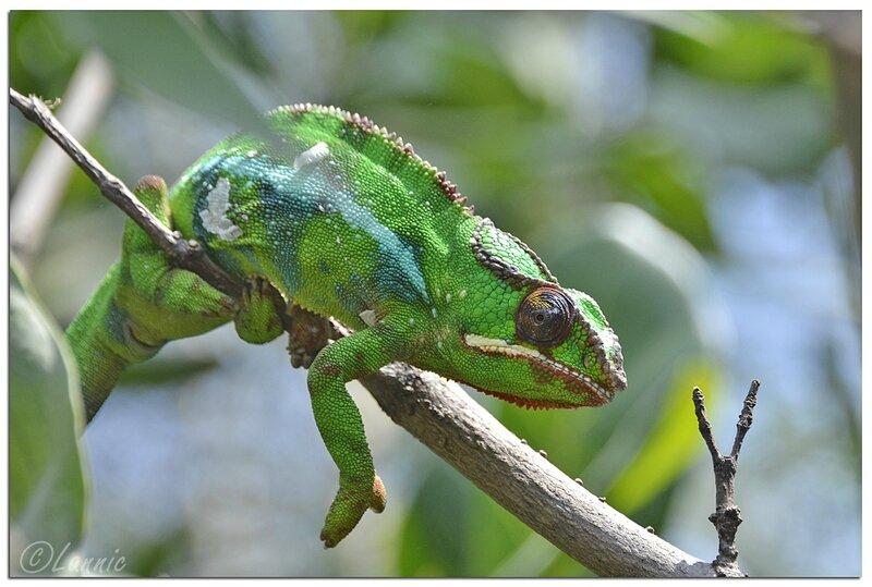 Zoo_Vincennes_cameleon_panthere