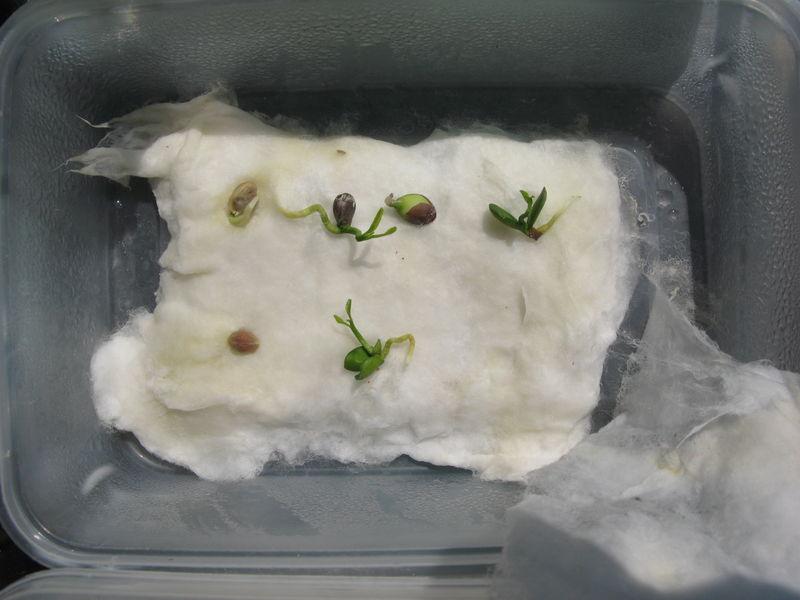 Plantations de p pins et noyaux divers judith ex press - Comment planter des kiwis ...