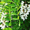 Acacia 0505165