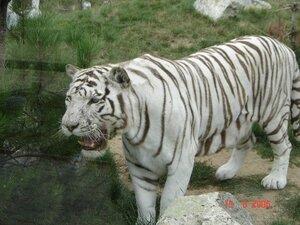 magnifique tigre du bengal