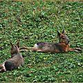Mara ou lièvre de Patagonie (Dolichotis patagonum)