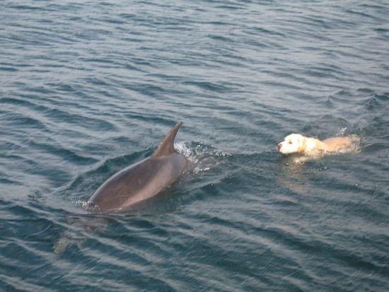 Labrador-dolphin