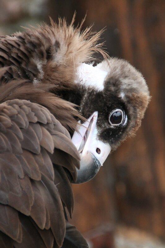 vautour moine 1