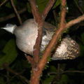 Tinamus major - Grand tinamou