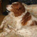 A quatre pattes: miska, thy épagneul breton de 10 ans!!!