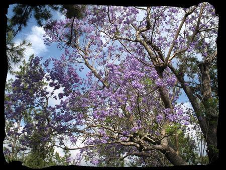 arbre_Jacaranda