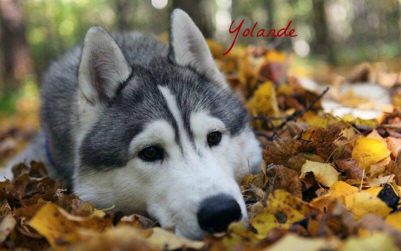 714974__autumn-face-dog-foliage-husky-wallpapers-image_p