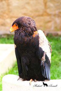 L' Aigle Bateleur des Savanes