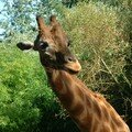 girafe zoo des sables