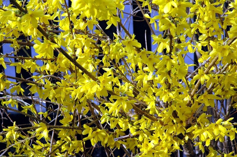 1200px-Forsythia_close-up