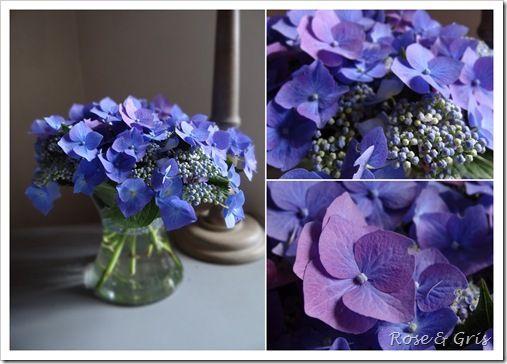 hortensias bleus de Nanie
