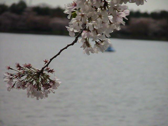cerisier japonais sakura