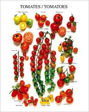 Les-tomates-(varietes-americaines)_Roger-PHILLIPS