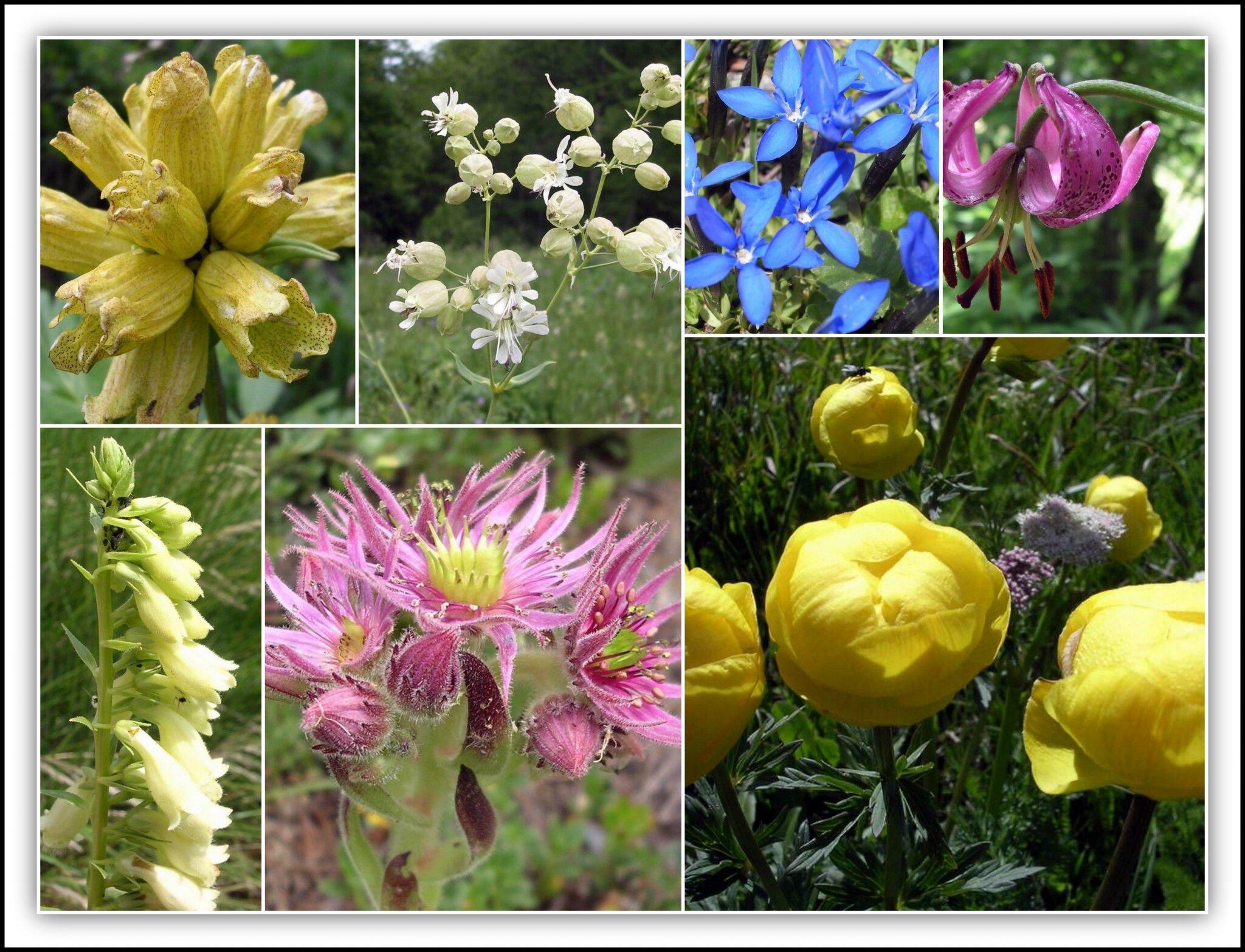 fleurs de montagne printemps