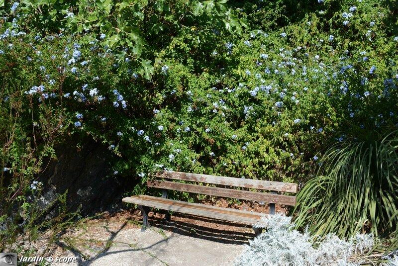 Parc Saint-Bernard - Dentelaire du Cap - Plumbago auriculata