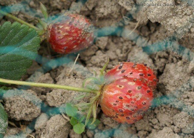 jardin fraises