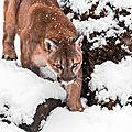 cougar fghytu